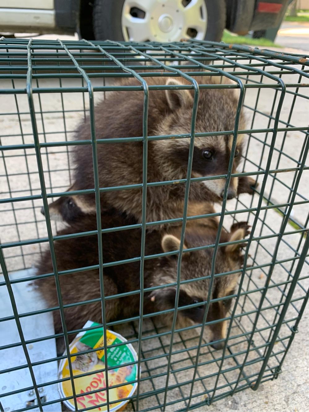 raccoon in attic