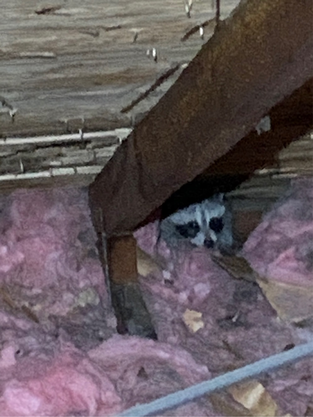 raccoon in house